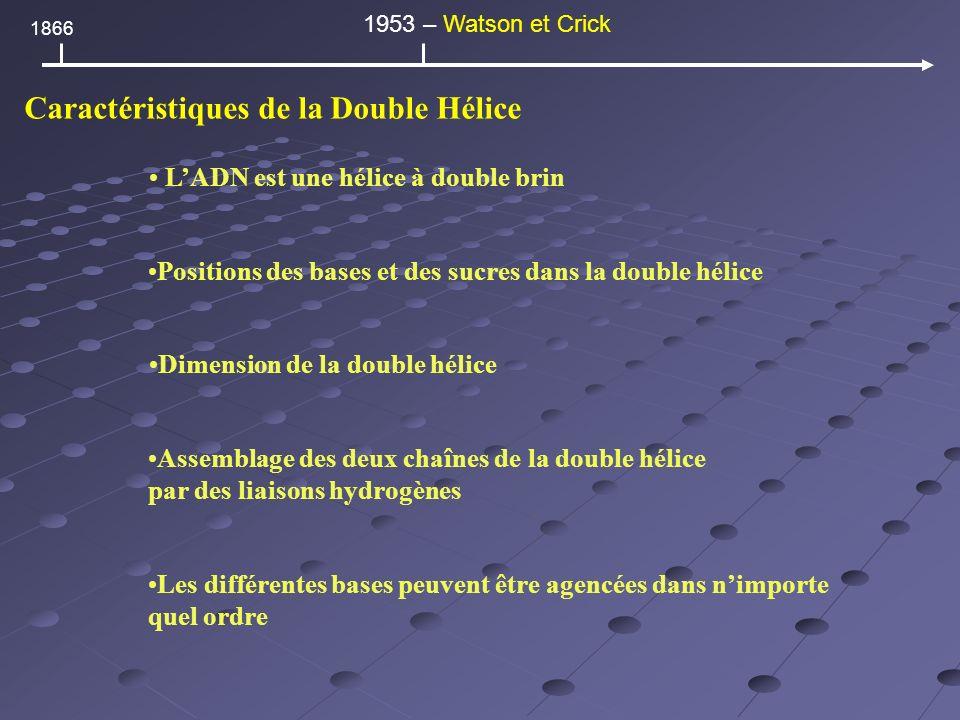 Caractéristiques de la Double Hélice LADN est une hélice à double brin Positions des bases et des sucres dans la double hélice Dimension de la double hélice Assemblage des deux chaînes de la double hélice par des liaisons hydrogènes Les différentes bases peuvent être agencées dans nimporte quel ordre 1866 1953 – Watson et Crick