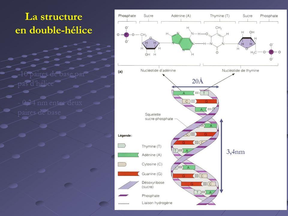 20Ǻ 3,4nm La structure en double-hélice -10 paires de base par pas dhélice - 0,34 nm entre deux paires de base