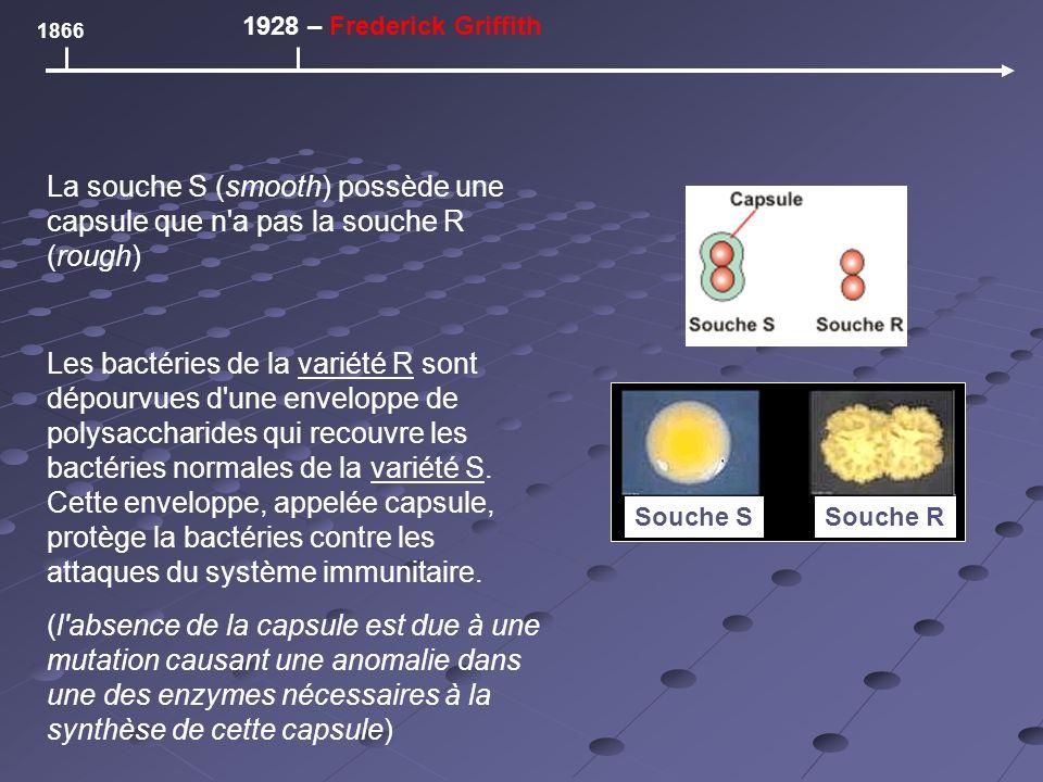 La souche S (smooth) possède une capsule que n a pas la souche R (rough) Les bactéries de la variété R sont dépourvues d une enveloppe de polysaccharides qui recouvre les bactéries normales de la variété S.