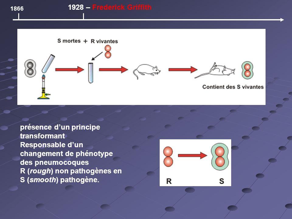 1866 1928 – Frederick Griffith présence dun principe transformant Responsable dun changement de phénotype des pneumocoques R (rough) non pathogènes en S (smooth) pathogène.