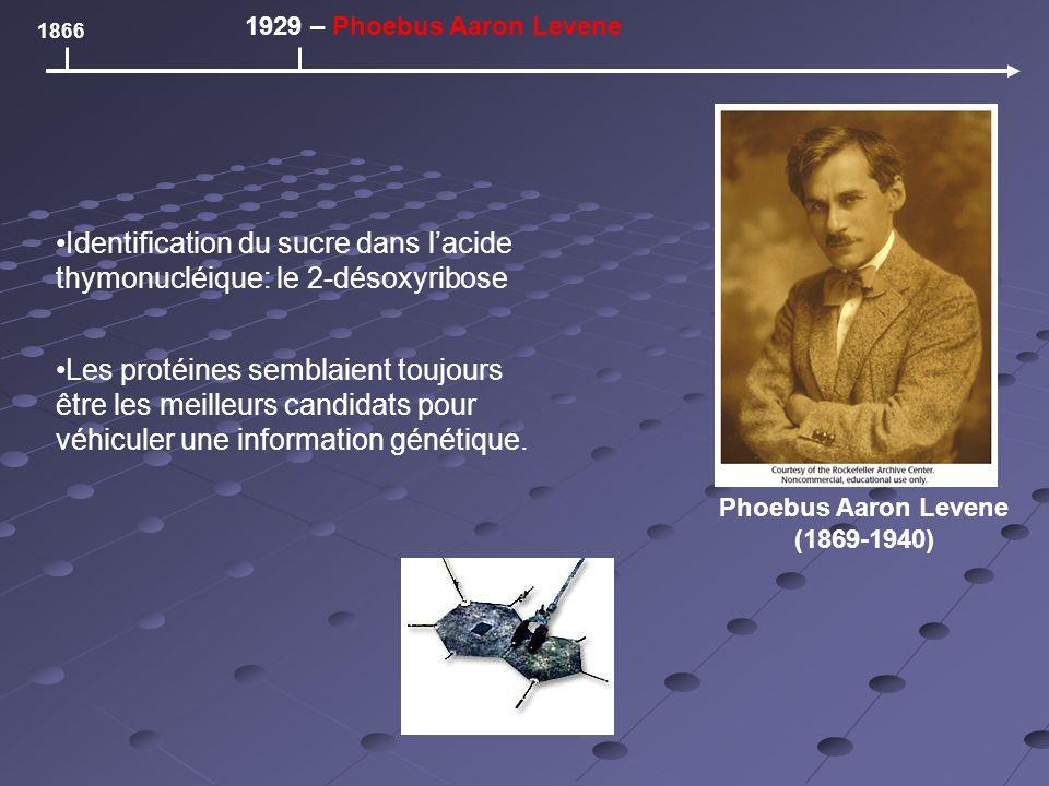 Phoebus Aaron Levene (1869-1940) 1866 1929 – Phoebus Aaron Levene Identification du sucre dans lacide thymonucléique: le 2-désoxyribose Les protéines semblaient toujours être les meilleurs candidats pour véhiculer une information génétique.