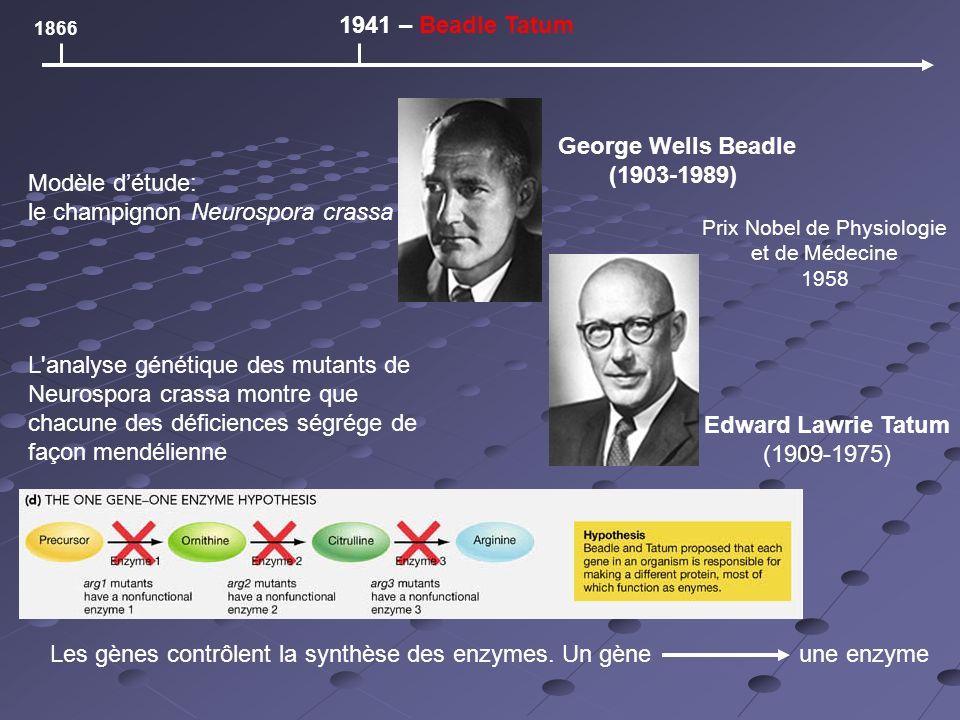1866 1941 – Beadle Tatum George Wells Beadle (1903-1989) Edward Lawrie Tatum (1909-1975) Les gènes contrôlent la synthèse des enzymes.