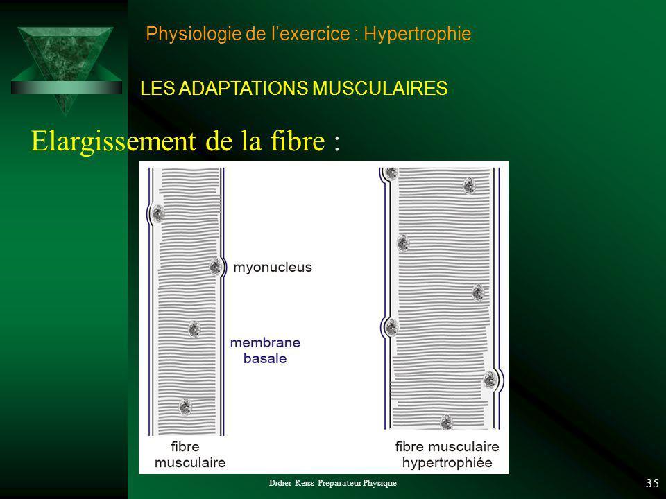Didier Reiss Préparateur Physique 35 Physiologie de lexercice : Hypertrophie Elargissement de la fibre : LES ADAPTATIONS MUSCULAIRES
