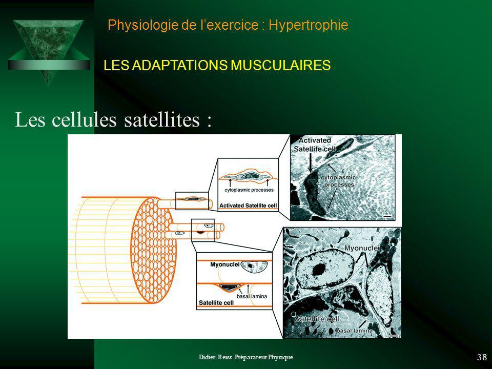 Didier Reiss Préparateur Physique 38 Physiologie de lexercice : Hypertrophie Les cellules satellites : LES ADAPTATIONS MUSCULAIRES
