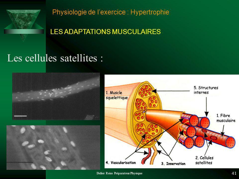 Didier Reiss Préparateur Physique 41 Physiologie de lexercice : Hypertrophie Les cellules satellites : LES ADAPTATIONS MUSCULAIRES