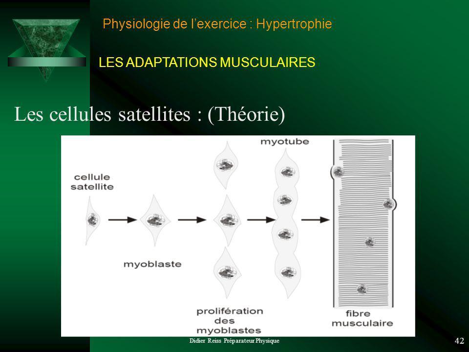 Didier Reiss Préparateur Physique 42 Physiologie de lexercice : Hypertrophie Les cellules satellites : (Théorie) LES ADAPTATIONS MUSCULAIRES