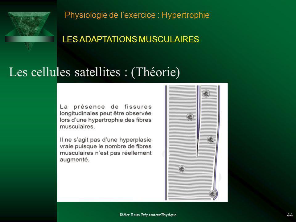Didier Reiss Préparateur Physique 44 Physiologie de lexercice : Hypertrophie Les cellules satellites : (Théorie) LES ADAPTATIONS MUSCULAIRES