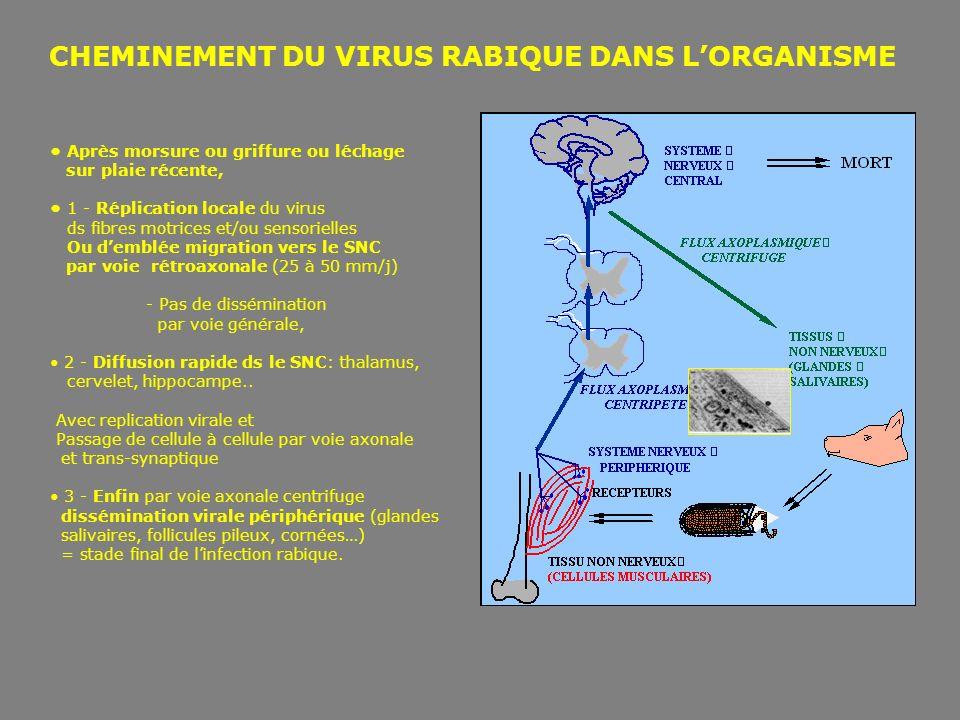 CHEMINEMENT DU VIRUS RABIQUE DANS LORGANISME Après morsure ou griffure ou léchage sur plaie récente, 1 - Réplication locale du virus ds fibres motrice