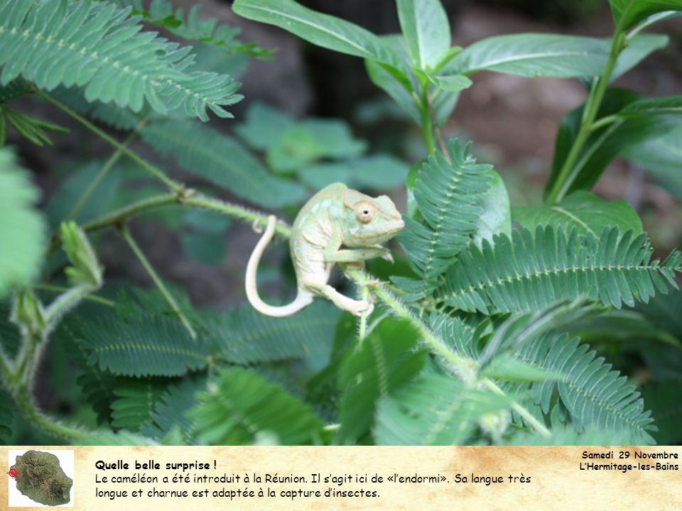 Quelle belle surprise ! Le caméléon a été introduit à la Réunion. Il sagit ici de «lendormi». Sa langue très longue et charnue est adaptée à la captur
