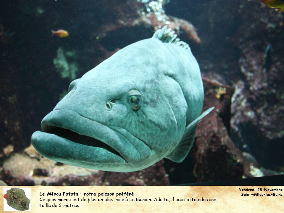 Le Mérou Patate : notre poisson préféré Ce gros mérou est de plus en plus rare à la Réunion. Adulte, il peut atteindre une taille de 2 mètres. Vendred