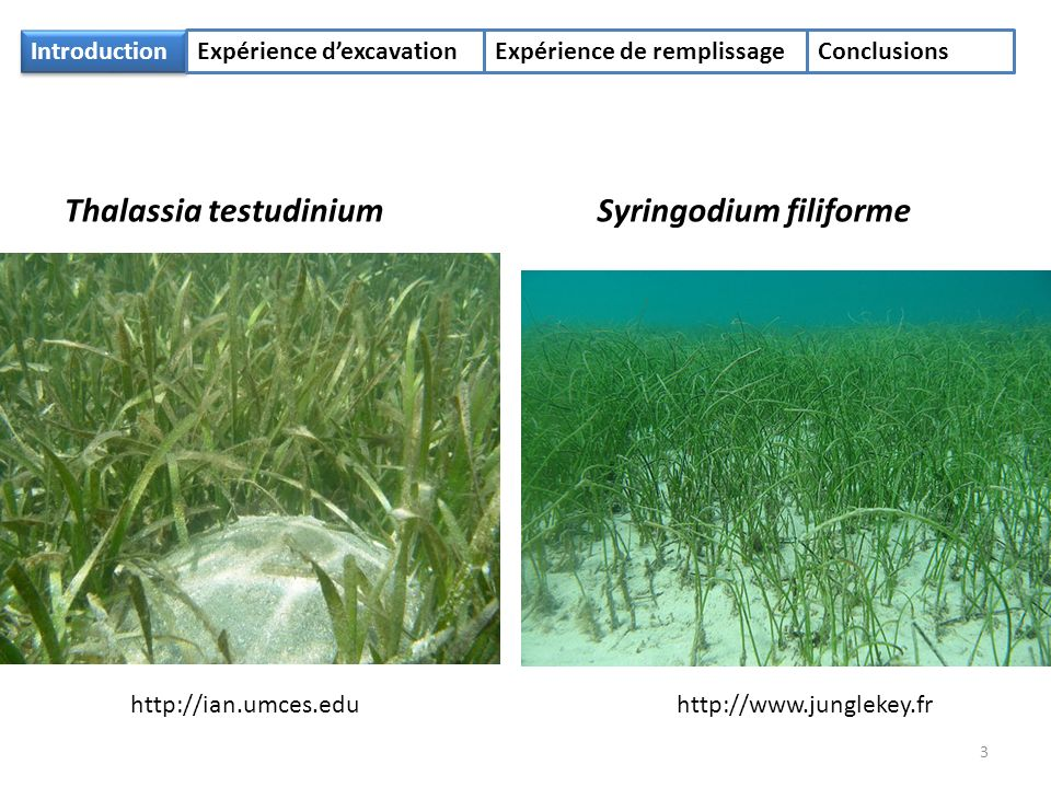 Introduction Expérience dexcavationExpérience de remplissageConclusions Thalassia testudiniumSyringodium filiforme http://www.junglekey.frhttp://ian.umces.edu 3