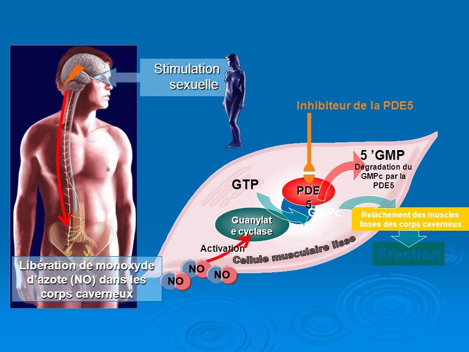 Stimulation sexuelle Libération de monoxyde dazote (NO) dans les corps caverneux GTP GMPc Relâchement des muscles lisses des corps caverneux Érection