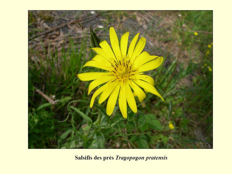 Salsifis des prés Tragopogon pratensis