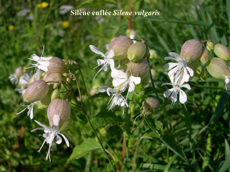 Silène enflée Silene vulgaris