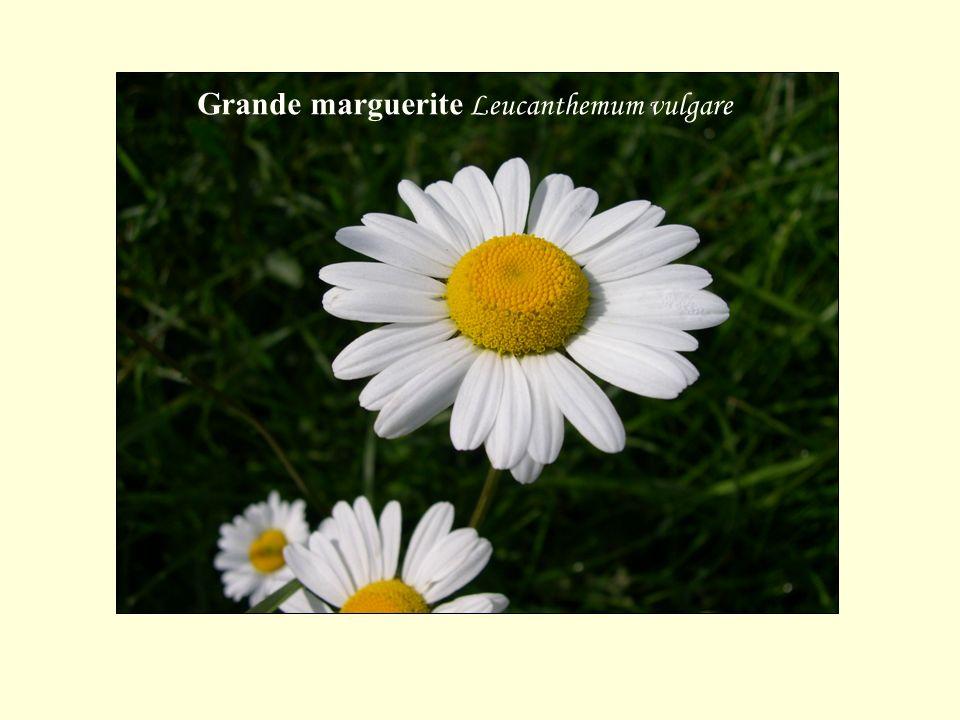 Grande marguerite Leucanthemum vulgare