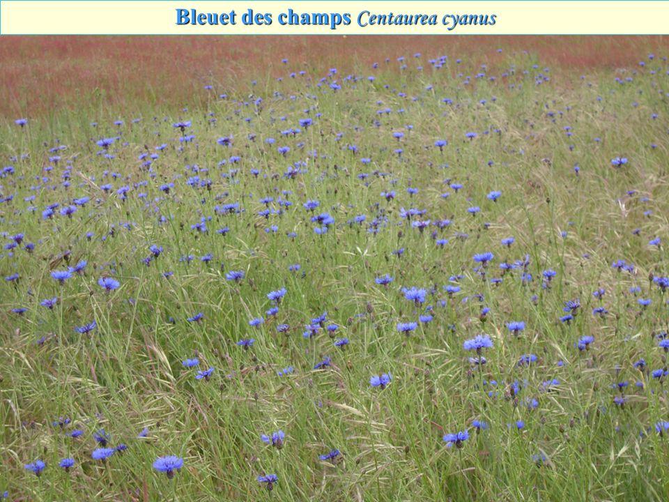 Bleuet des champs Centaurea cyanus