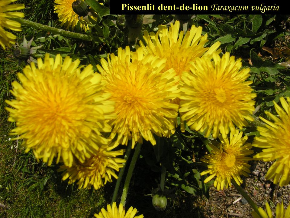 Pissenlit dent-de-lion T araxacum vulgaria