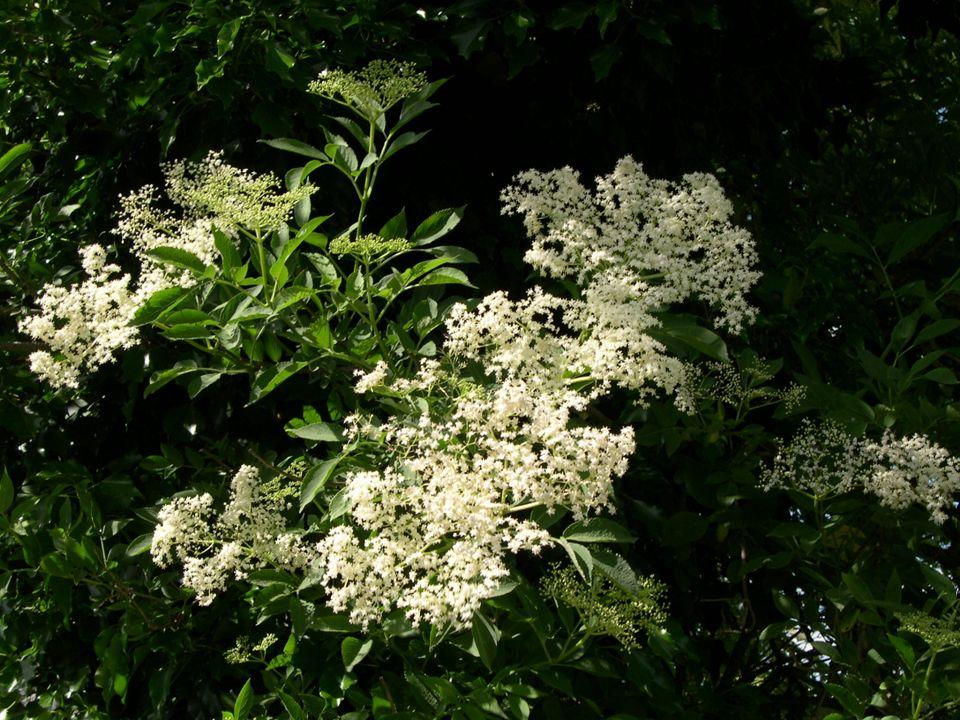 Sureau noir Sambucus nigra (fleurs et fruits comestibles)