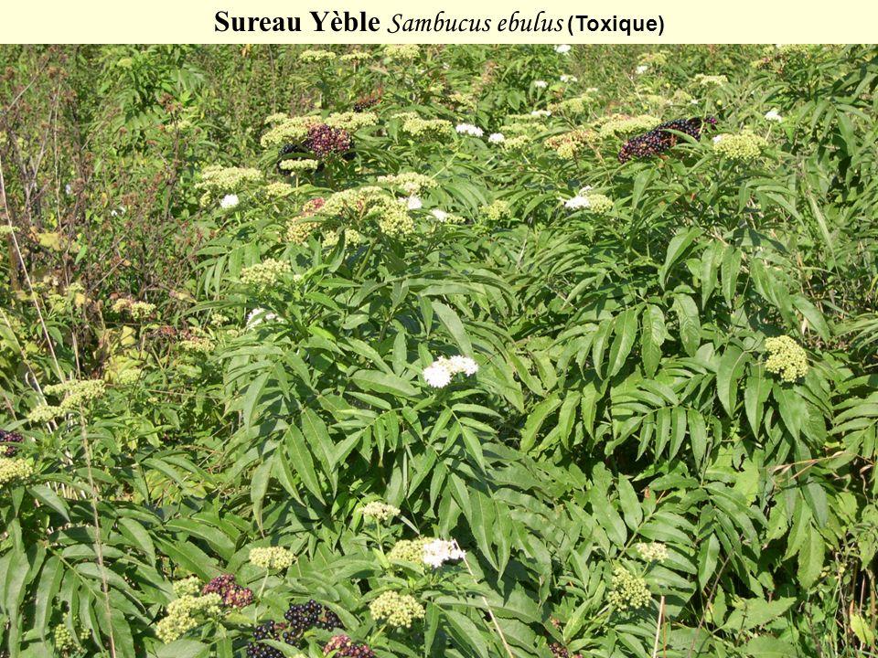 Sureau Yèble Sambucus ebulus (Toxique)