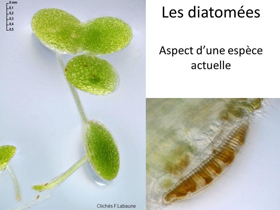 Les diatomées Aspect dune espèce actuelle Une diatomée actuelle Clichés F.Labaune