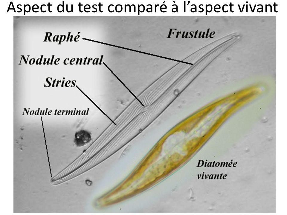 Aspect du test comparé à laspect vivant