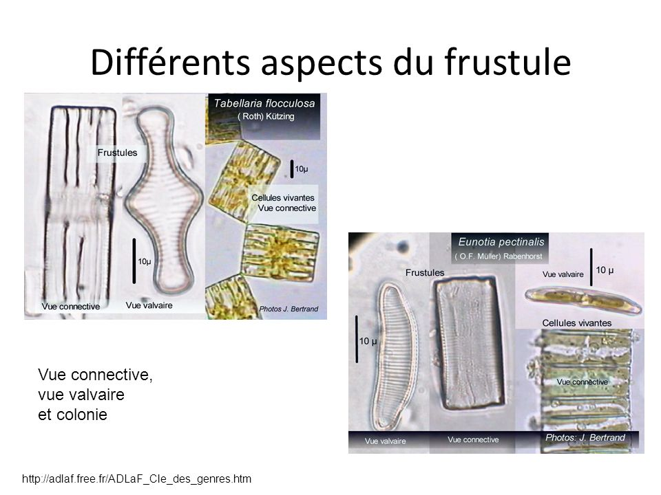 Différents aspects du frustule Vue connective, vue valvaire et colonie http://adlaf.free.fr/ADLaF_Cle_des_genres.htm