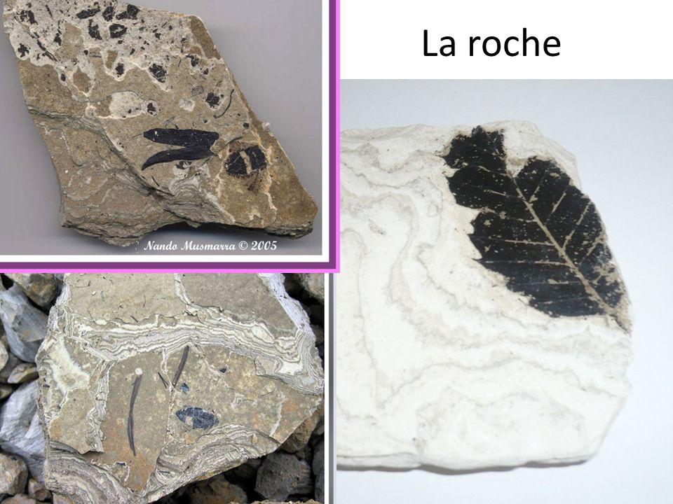 Fossiles de végétaux: chataignier Collections Bernard Riou