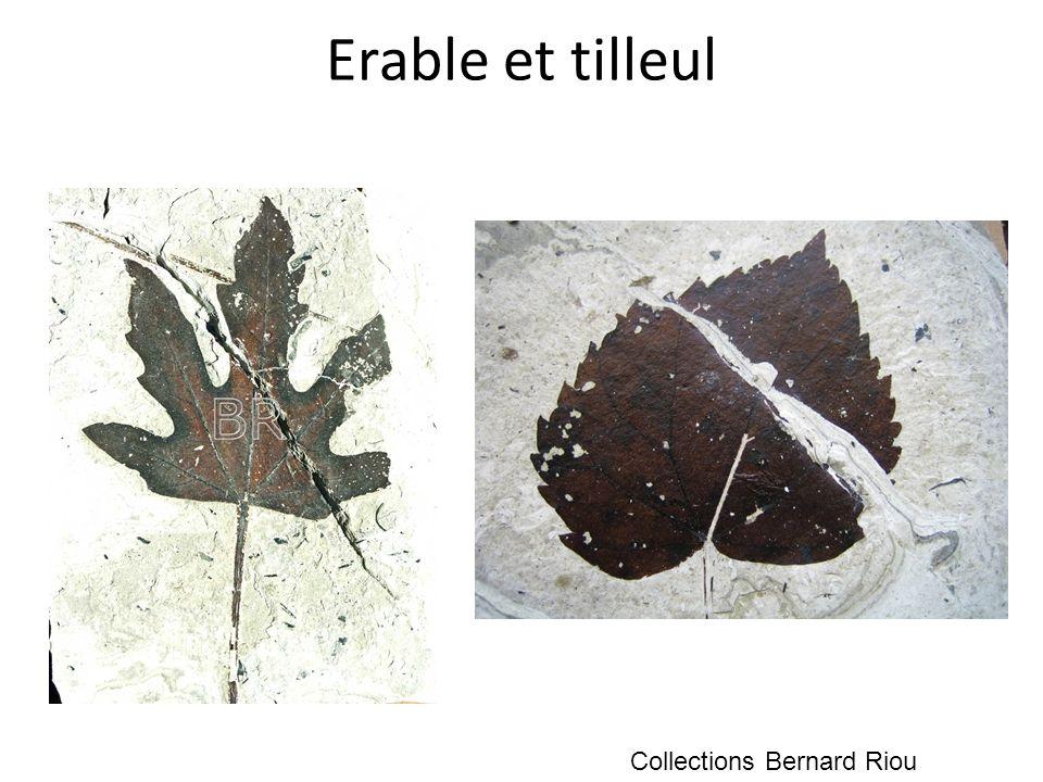 Erable et tilleul Collections Bernard Riou