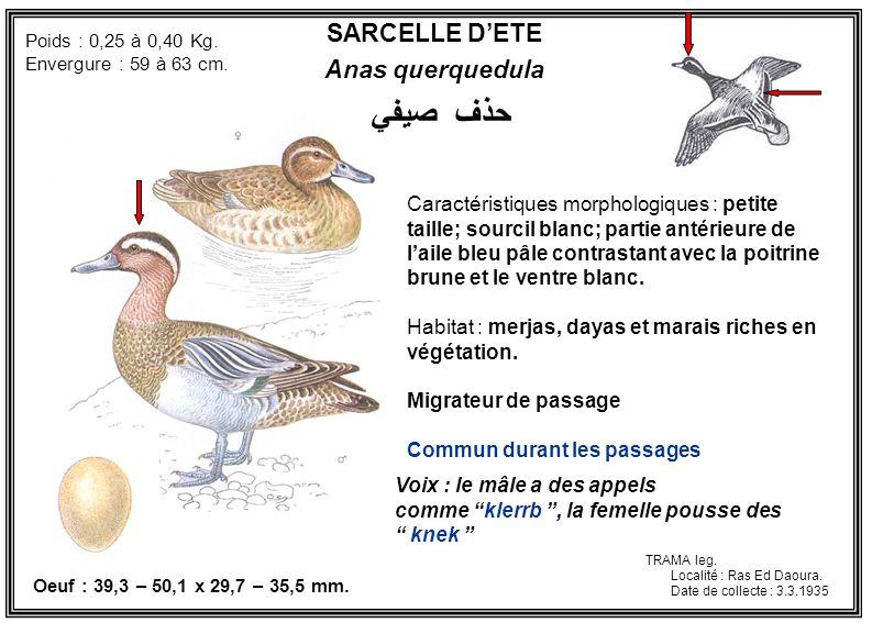 SARCELLE DETE Anas querquedula Caractéristiques morphologiques : petite taille; sourcil blanc; partie antérieure de laile bleu pâle contrastant avec l