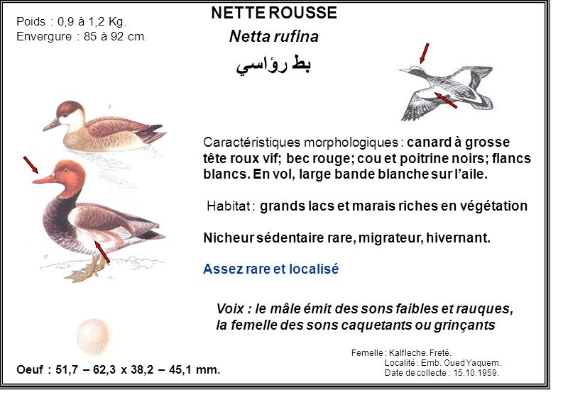 NETTE ROUSSE Netta rufina بط رؤاسي Caractéristiques morphologiques : canard à grosse tête roux vif; bec rouge; cou et poitrine noirs; flancs blancs. E