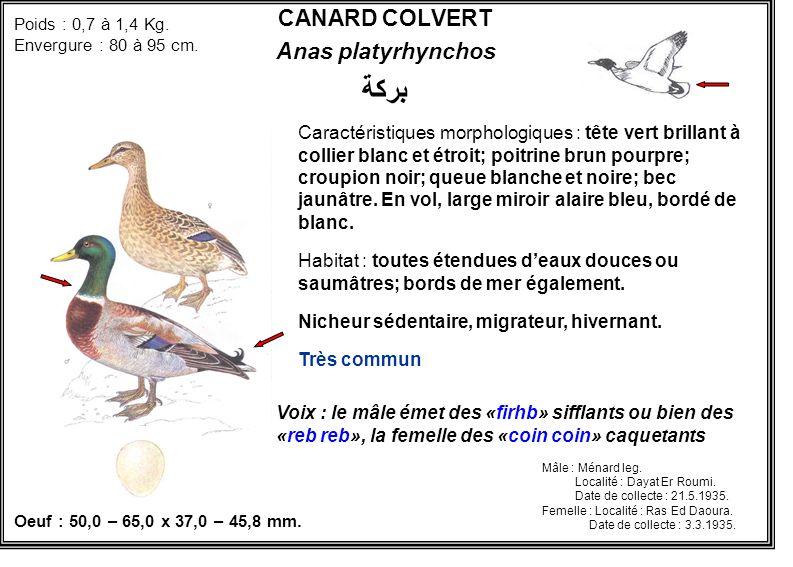 CANARD COLVERT Anas platyrhynchos بركة Caractéristiques morphologiques : tête vert brillant à collier blanc et étroit; poitrine brun pourpre; croupion