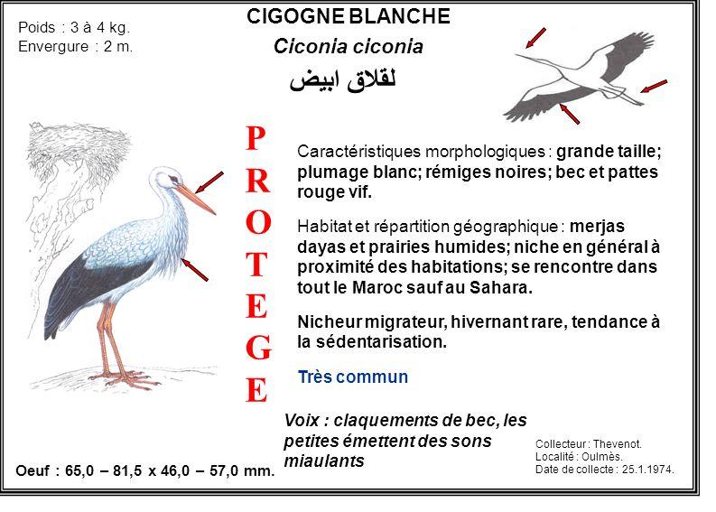 CIGOGNE BLANCHE Ciconia ciconia Caractéristiques morphologiques : grande taille; plumage blanc; rémiges noires; bec et pattes rouge vif. Habitat et ré