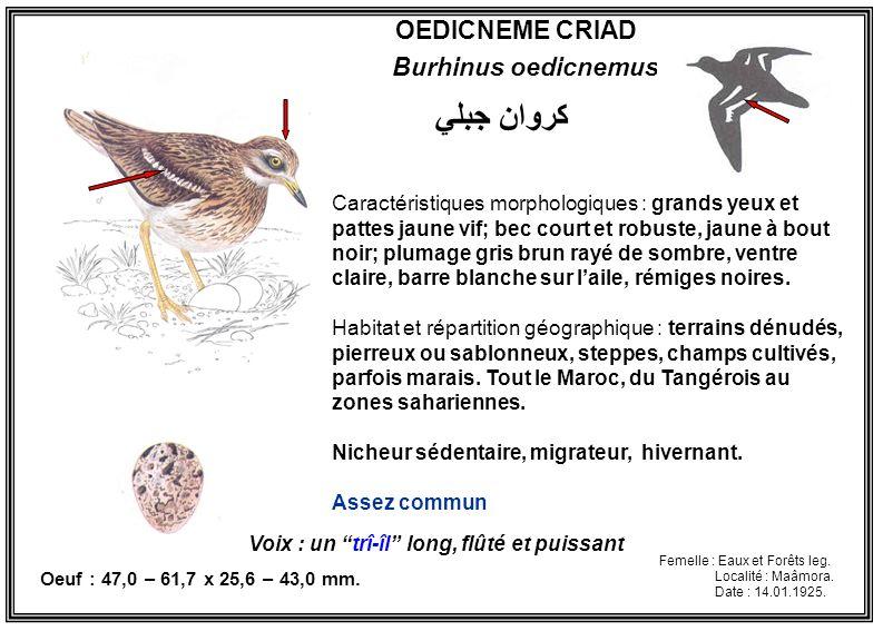 OEDICNEME CRIAD Burhinus oedicnemus Caractéristiques morphologiques : grands yeux et pattes jaune vif; bec court et robuste, jaune à bout noir; plumag