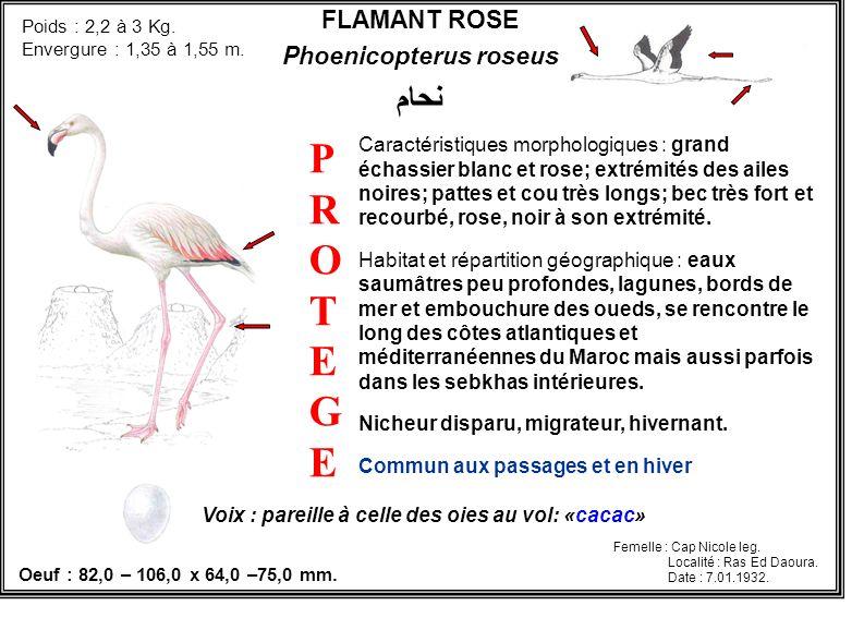 FLAMANT ROSE Phoenicopterus roseus نحام Caractéristiques morphologiques : grand échassier blanc et rose; extrémités des ailes noires; pattes et cou tr