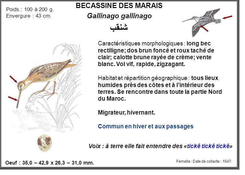 BECASSINE DES MARAIS Gallinago gallinago شنقب Caractéristiques morphologiques : long bec rectiligne; dos brun foncé et roux taché de clair; calotte br