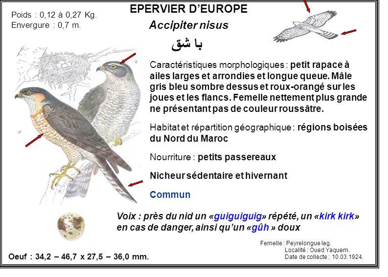 EPERVIER DEUROPE Accipiter nisus Caractéristiques morphologiques : petit rapace à ailes larges et arrondies et longue queue. Mâle gris bleu sombre des