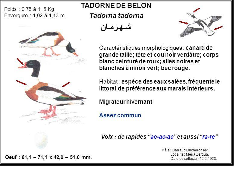 TADORNE DE BELON Tadorna tadorna شـهـرمـان Caractéristiques morphologiques : canard de grande taille; tête et cou noir verdâtre; corps blanc ceinturé