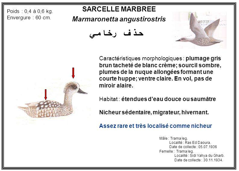SARCELLE MARBREE Marmaronetta angustirostris Caractéristiques morphologiques : plumage gris brun tacheté de blanc crème; sourcil sombre, plumes de la