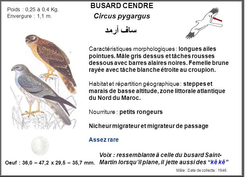 BUSARD CENDRE Circus pygargus Caractéristiques morphologiques : longues ailes pointues. Mâle gris dessus et tâches rousses dessous avec barres alaires