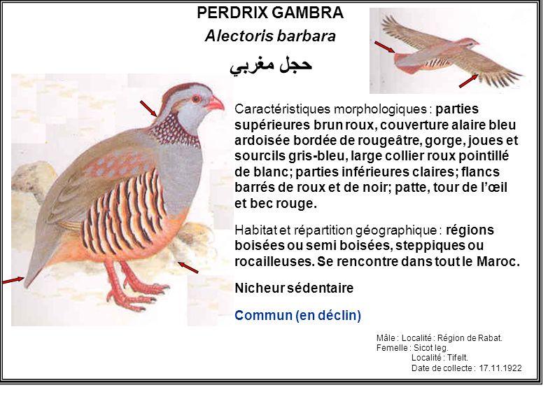 PERDRIX GAMBRA Alectoris barbara Caractéristiques morphologiques : parties supérieures brun roux, couverture alaire bleu ardoisée bordée de rougeâtre,