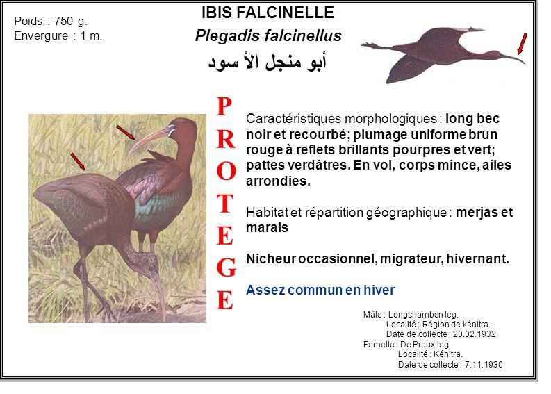 IBIS FALCINELLE Plegadis falcinellus أبو منجل الأ سود Caractéristiques morphologiques : long bec noir et recourbé; plumage uniforme brun rouge à refle