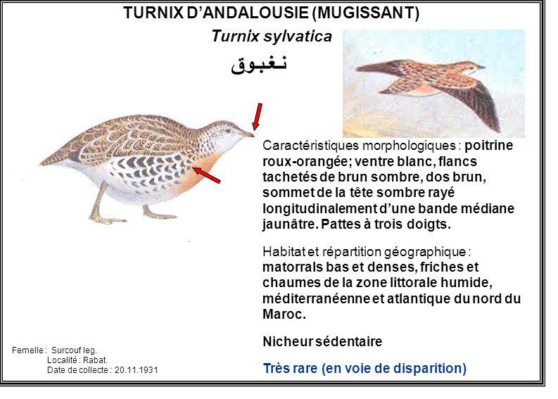 TURNIX DANDALOUSIE (MUGISSANT) Turnix sylvatica Caractéristiques morphologiques : poitrine roux-orangée; ventre blanc, flancs tachetés de brun sombre,