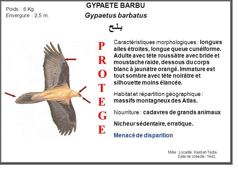 GYPAETE BARBU Gypaetus barbatus بـلـح Caractéristiques morphologiques : longues ailes étroites, longue queue cunéiforme. Adulte avec tête roussâtre av