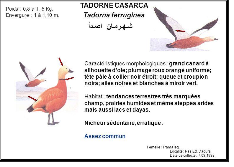 TADORNE CASARCA Tadorna ferruginea Caractéristiques morphologiques : grand canard à silhouette doie; plumage roux orangé uniforme; tête pâle à collier