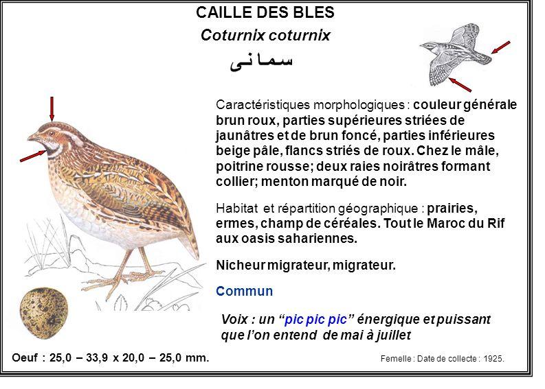 CAILLE DES BLES Coturnix coturnix Caractéristiques morphologiques : couleur générale brun roux, parties supérieures striées de jaunâtres et de brun fo