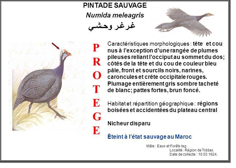 PINTADE SAUVAGE Numida meleagris Caractéristiques morphologiques : tête et cou nus à lexception dune rangée de plumes pileuses reliant locciput au som