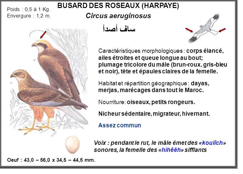 BUSARD DES ROSEAUX (HARPAYE) Circus aeruginosus Caractéristiques morphologiques : corps élancé, ailes étroites et queue longue au bout; plumage tricol