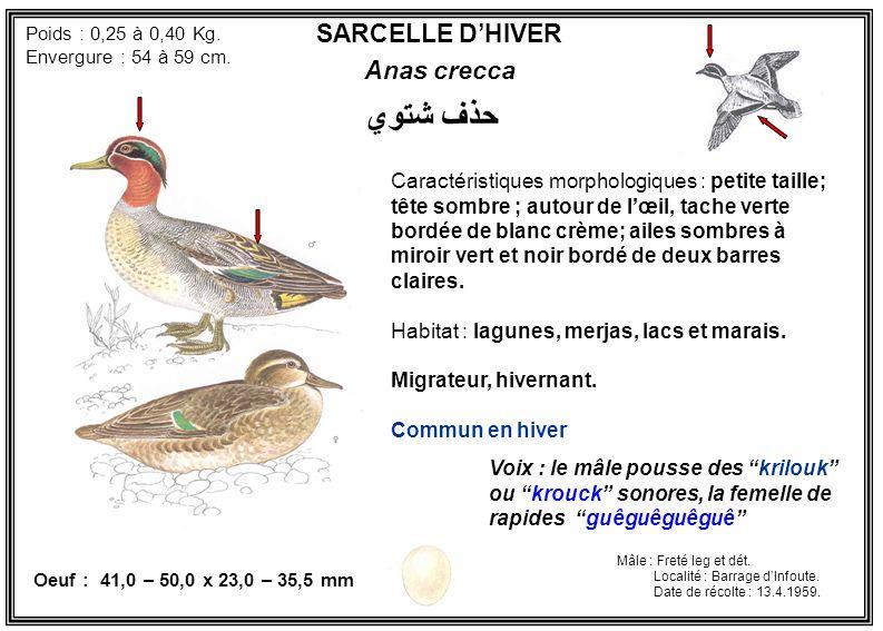 SARCELLE DHIVER Anas crecca Caractéristiques morphologiques : petite taille; tête sombre ; autour de lœil, tache verte bordée de blanc crème; ailes so