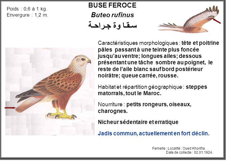 BUSE FEROCE Buteo rufinus Caractéristiques morphologiques : tête et poitrine pâles passant à une teinte plus foncée jusquau ventre; longues ailes; des