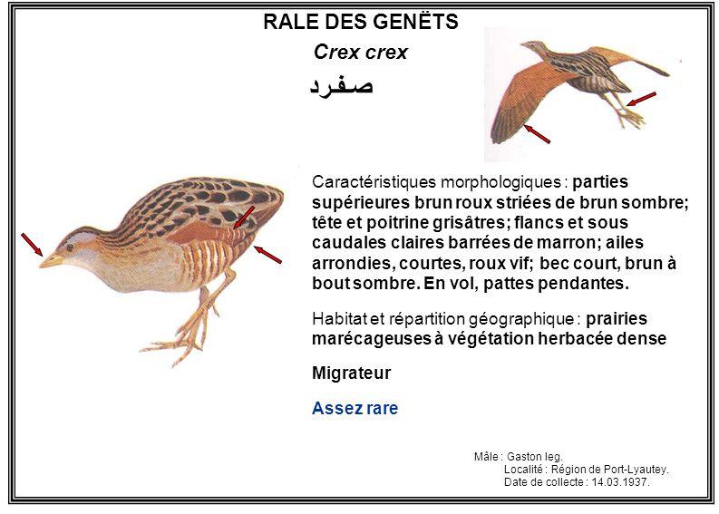 RALE DES GENËTS Crex crex Caractéristiques morphologiques : parties supérieures brun roux striées de brun sombre; tête et poitrine grisâtres; flancs e
